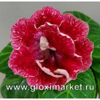 Глоксиния Мини Samanthe ( укорененный лист )