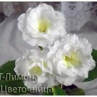 Глоксиния ЛТ-Лимона ( укорененный лист )