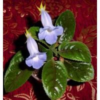 Глоксиния Тидея Blue Ciel  (Укорененный лист)