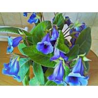 Глоксиния Тидея Фиолетовая (Укорененный лист)