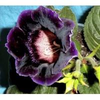 Глоксиния Коко Шанель  (укорененный лист)