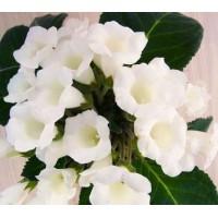 Глоксиния Луговые Цветы (укорененные лист)
