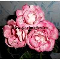 Глоксиния Ситец Розовый (клубень)