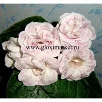 Глоксиния Стефания  (Укорененный лист)