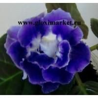 Глоксиния Tricolor   (укорененный лист)