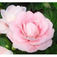 Глоксиния Розовые Облака (детка с ростком)
