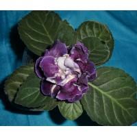 Глоксиния Тамерлан  (Укорененный лист)