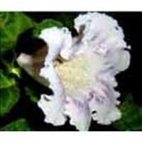 Глоксиния Тидея Мартина  (Укорененный лист)