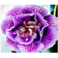 Глоксиния Ситец Фиолетовый  (Укорененный лист)