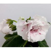 Глоксиния ЛБ-Ванилька ( клубень 2 см )