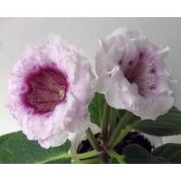 Глоксиния АО-Валерия ( укоренённый лист )