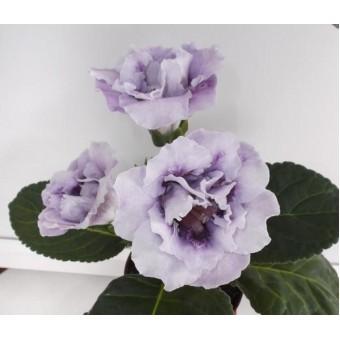 Глоксиния Цвет-Изморозь ( укорененный лист  )